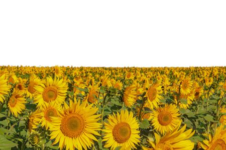 Many sunflowers grow in the field. Close-up. White background under the sky Reklamní fotografie