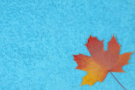 Maple leaf in autumn coloring lies on a colored background Foto de archivo