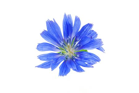 Blue, spring flower close-up on a white background