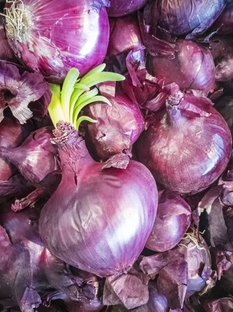Sprouted red onion lies on a heap of red onion