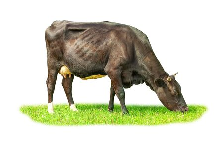 The cow grazes in the meadow