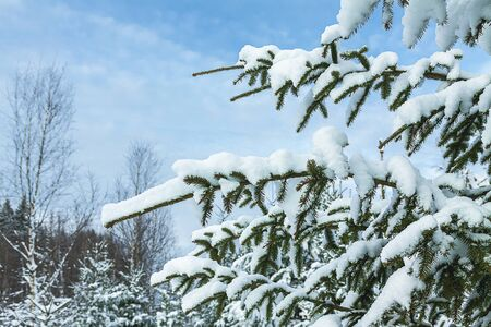 Snow on the branches of the Christmas tree