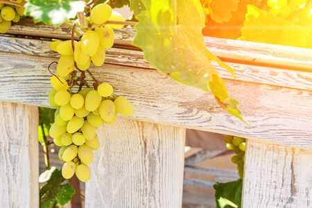 Brush of grapes on a background of a wooden fence Foto de archivo - 145947425