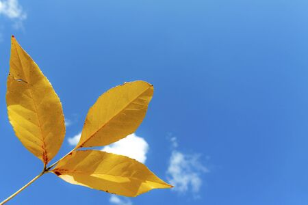 Autumn, yellow leaves against the blue sky with small clouds