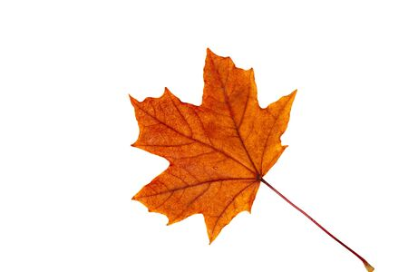 Autumn maple leaf on a white background Imagens