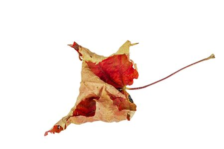 Dried, autumn maple leaf on a white background.