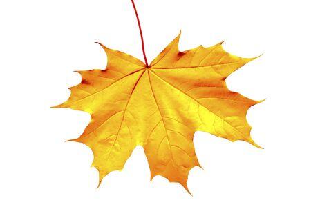 Autumn maple leaf on a white background.