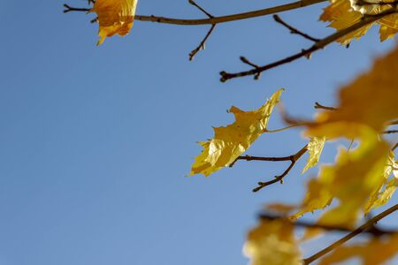 Autumn leaves on tree branches against blue sky