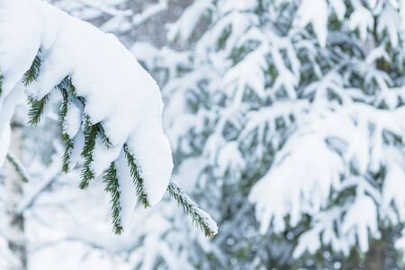 A lot of snow lies on the branches of a Christmas tree. Winter concept