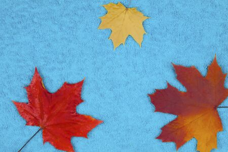 Autumn maple leaves on a colored background.
