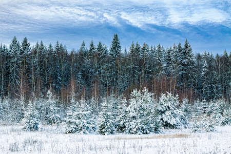 Winter landscape is the edge of a snow-covered forest