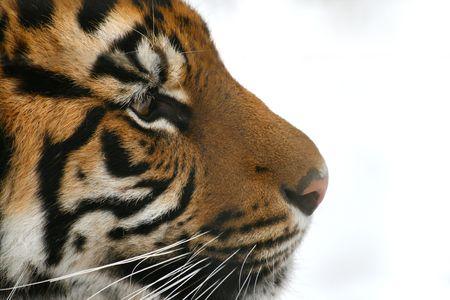profile: Tiger Profile