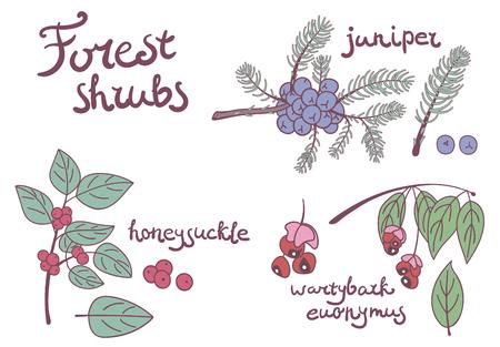 izole nesneleri: Forest set of wild shrubs. Honeysuckle, juniper, wartybark euonymus isolated objects