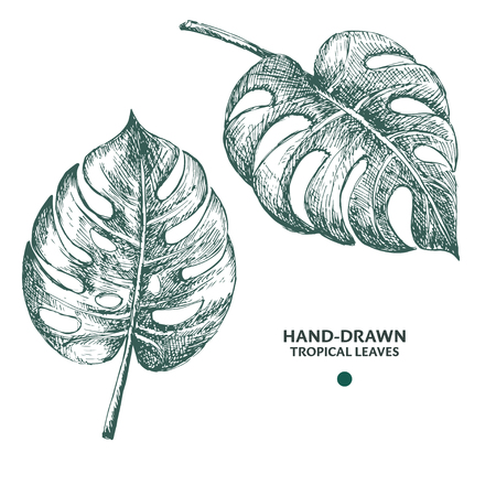 Hand-drawn monstera leaves. Engraving style tropical plants.