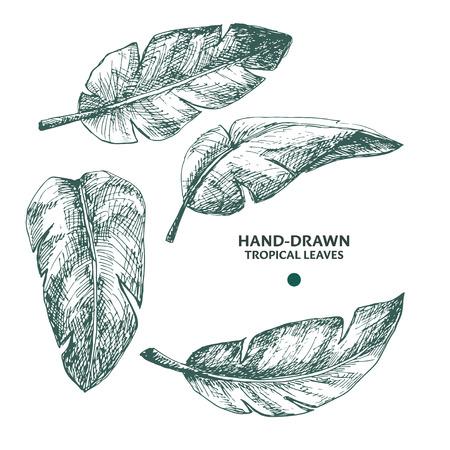 handdrawn: Hand-drawn banana palm leaves. Engraving style tropical plants.
