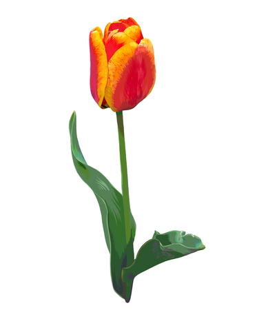 sappy: Realistic hand-drawn tulip. Red and orange colors. Isolated flower on white background. Illustration