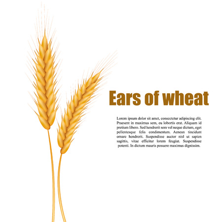 Realistic ears of wheat on a white background with space for text. Vector illustration of a cereal.