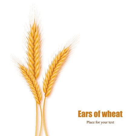 Realistic ears of wheat on a white background with space for text. Vector illustration of a cereal. Illustration