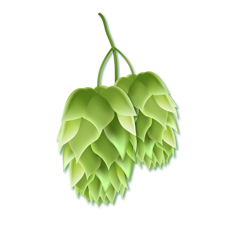 Realistic vector illustration of a hops for beer. Green 3d plant on white background