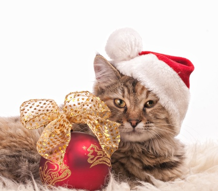 fluffy ears:  Cute cat in santas cap with Christmas ball Stock Photo