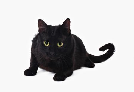 moggi: black cat isolated on white background