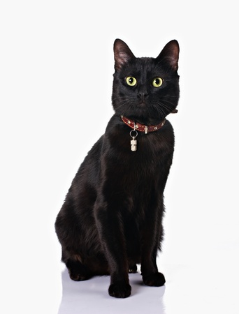 moggi: cute black cat with collar sitting isolated on white background
