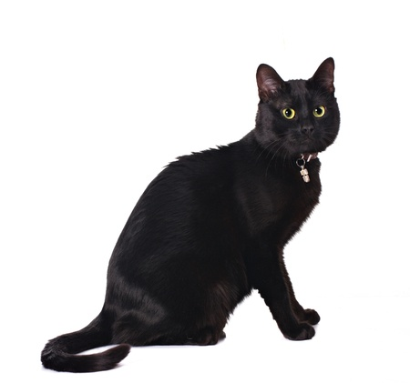moggi: cute black cat sitting isolated on white