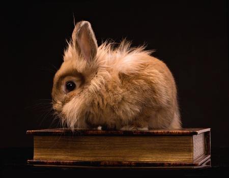 bunnie: fluffy rabbit sitting on a book on black background Stock Photo