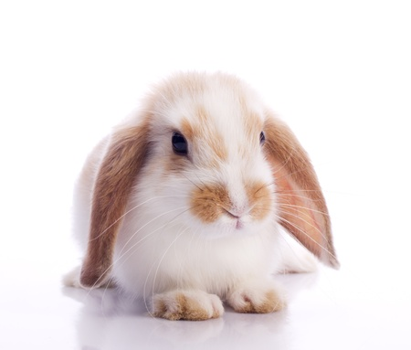 fluffy ears: Cute fancy rabbit isolated on white