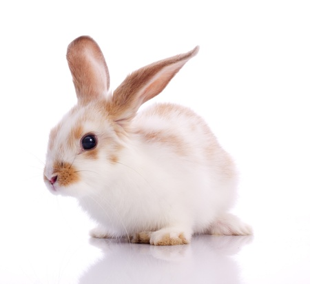white rabbit: funny pygmy rabbit isolated on white