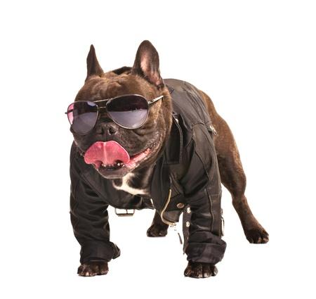 moteros: bulldog franc�s en chaqueta de cuero ciclista aislado en blanco