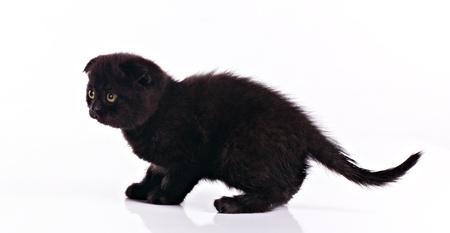 Little black kitten isolated on white background photo