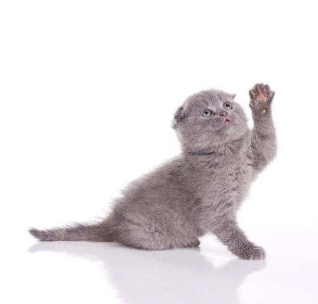 fumose british kitten isolated on white