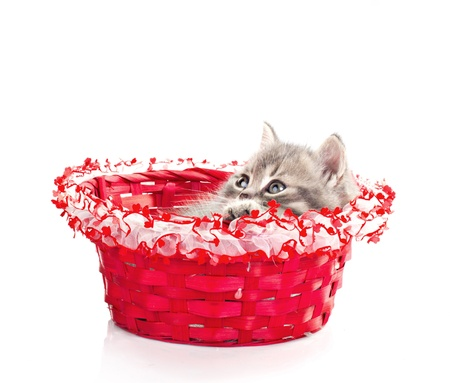 kitten in beautiful box isolated on white photo