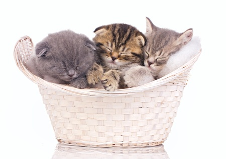 three sleeping littens in the basket isolated on white photo