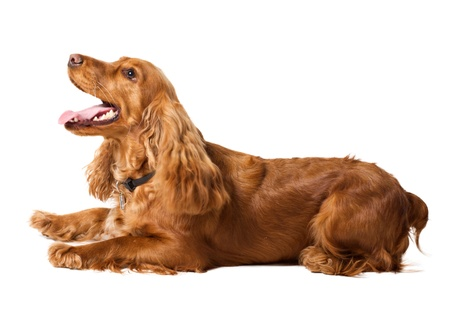 beautiful cocker spaniel is lying isolated on white photo