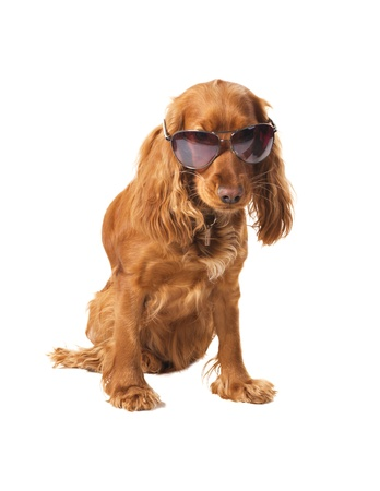 english cocker spaniel: beautiful cocker spaniel in sunglasses siting isolated on white background