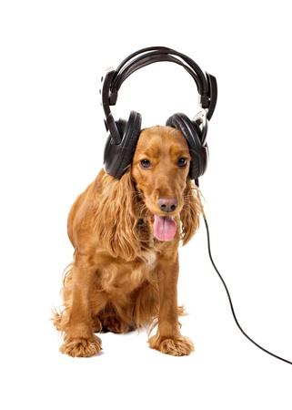 cocker spaniel in headphones isolated on white Stock Photo - 14391112