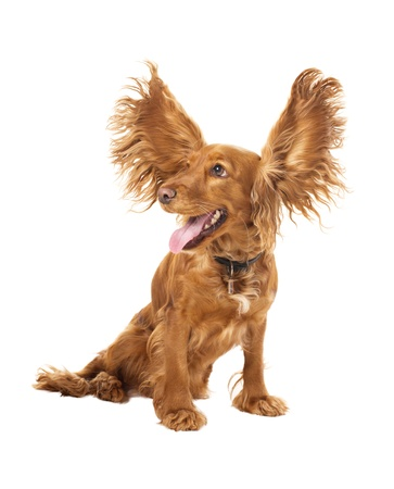 cocker spaniel with flying ears in studio isolated on white