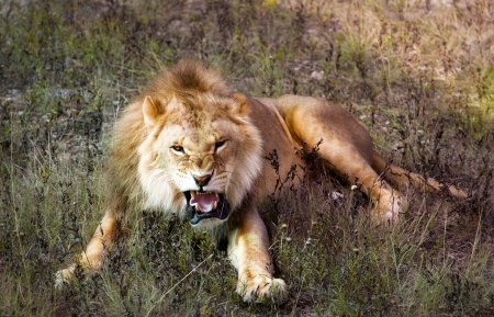 angry lion: yellow roaring lion lying in savannah Stock Photo