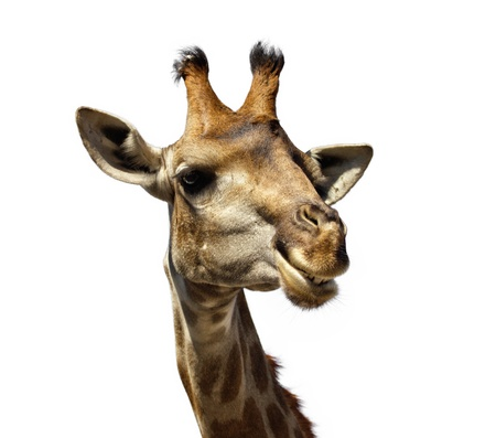 closeup portrait of a smiling giraffe isolated on white photo