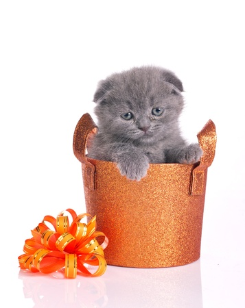 cute british kitten in gold shiny basket isolated on white photo