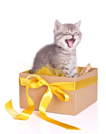yawning cute gray furry kitten in a box set isolated on white