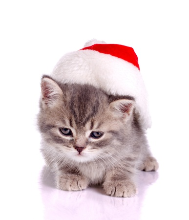 little cat celebrating  christmas in red hat isolated on white photo