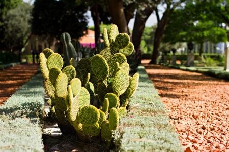 haifa: prickly pear cactus in bahai garden in haifa Stock Photo