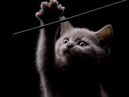 canny:  amusing  little gray kitten with raised claw on dark background Stock Photo