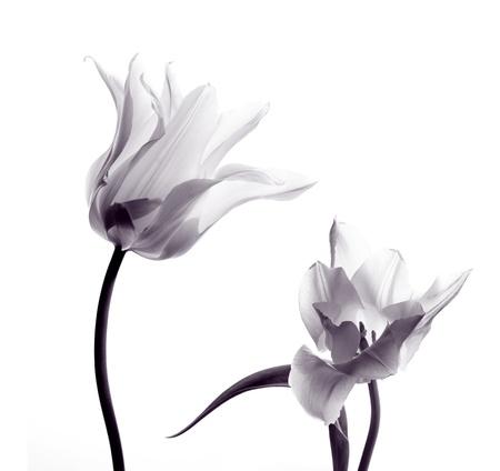 twee transparante tulpen in tegenlicht op een witte achtergrond Stockfoto