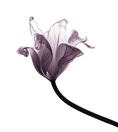 tulips: withered transparent tulip isolated on white background, desaturated