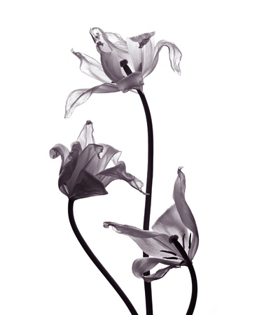 three withered tranparent tulips on white background desaturated Standard-Bild