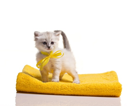 little gray furry  kitten standing on yellow towels on white background photo